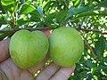 Starr-130809-2928-Prunus domestica-Cv Beauty immature fruit-Kula-Maui (24632923843).jpg
