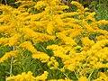 Starr-140930-2075-Solidago canadensis-flowers-Keokea-Maui (25220532576).jpg