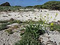 Starr-150328-1768-Brassica juncea-flowering habit-Northwest Eastern Island-Midway Atoll (24902081329).jpg