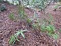 Starr-170225-0078-Pteris cretica-habit-Lower Waiohuli Trail Polipoli-Maui (33253366171).jpg