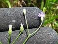 Starr-180421-0071-Cyanthillium cinereum-flowers-Honolua Lipoa Point-Maui (42554244405).jpg
