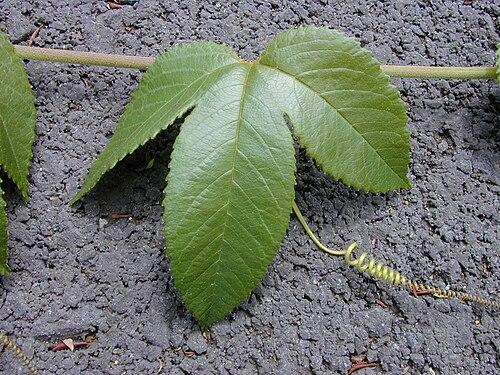 500px starr 010423 0064 passiflora tarminiana