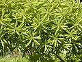 Starr 030418-0147 Asparagus densiflorus.jpg