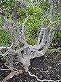 Starr 040410-0121 Rauvolfia sandwicensis.jpg