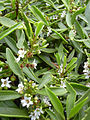 Starr 040410-0217 Myoporum sandwicense.jpg