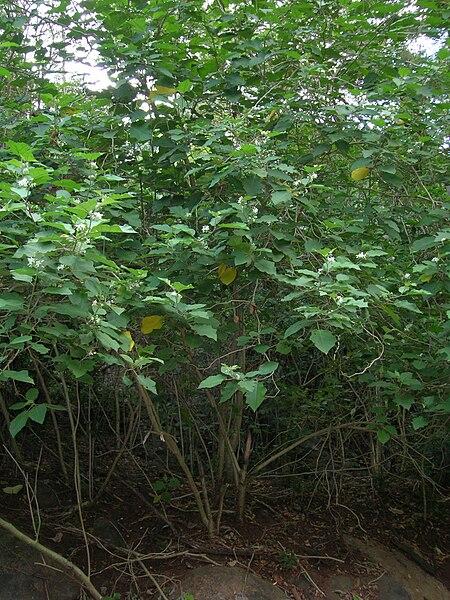 File:Starr 050418-0143 Solanum torvum.jpg