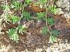 Starr 050419-0327 Indigofera hendecaphylla