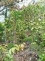 Starr 060325-9029 Xylosma hawaiiense.jpg