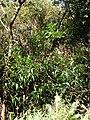 Starr 070604-7252 Syzygium jambos.jpg