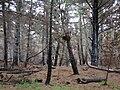 Starr 070908-9173 Pinus sp..jpg