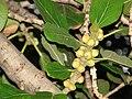 Starr 080305-3285 Ficus benghalensis.jpg