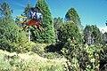 Starr 970527-0297 Leptecophylla tameiameiae.jpg