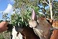 Steers tongue desmanthus JCU Townsville 7890.jpg