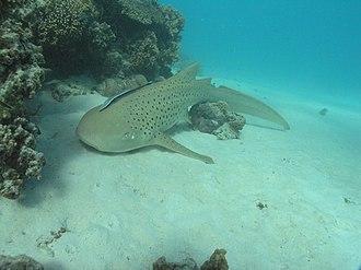 Zebra shark - Zebra sharks are often seen resting on sand near coral.