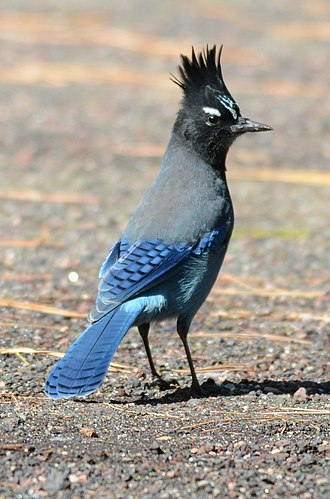 Steller's jay - Steller's Jay in Flagstaff, Arizona, with white head-markings typical of eastern-variety birds (C.S. macrolopha)