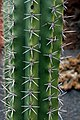Stenocereus stellatus in Jardin de Cactus on Lanzarote, June 2013 (1).jpg