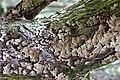 Stereum rugosum Pers. 1794 (8085788542).jpg