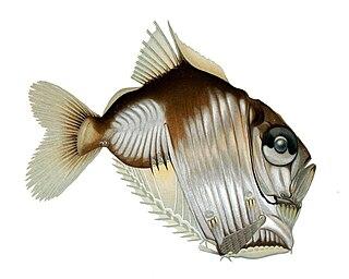 <i>Sternoptyx</i> genus of fishes
