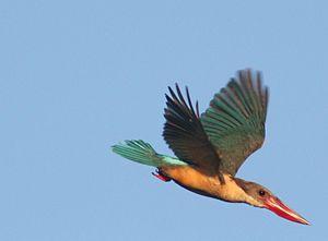 Stork-billed kingfisher - Image: Stork billed Kingfisher