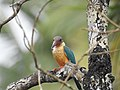 Stork billed kingfisher-kannur-kattampally - 14.jpg