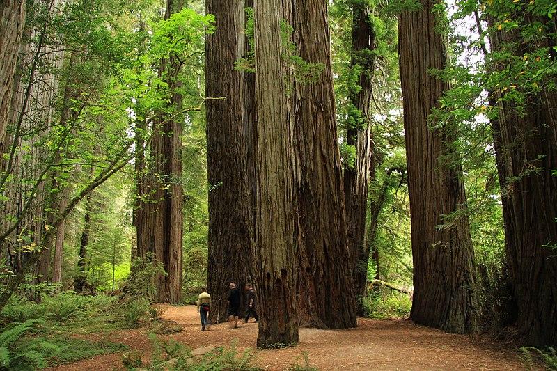 Redwood Tree Wedding Rings