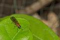 Stratiomyidae in Kadavoor.jpg