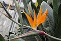 Strelitzia - Strelitzia reginae (40282903994).jpg