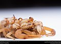 Striped Bark Scorpion (Buthidae, Centruroides vittatus (Say)) (36072004544).jpg