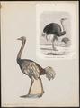 Struthio camelus - 1700-1880 - Print - Iconographia Zoologica - Special Collections University of Amsterdam - UBA01 IZ18900003.tif