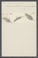 Stylonychia pustulata - - Print - Iconographia Zoologica - Special Collections University of Amsterdam - UBAINV0274 113 18 0012.tif
