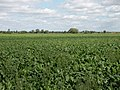 Sugar beet, probably - geograph.org.uk - 1461624.jpg