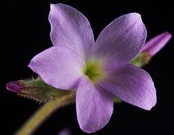 Suksdorfia violacea 1.jpg