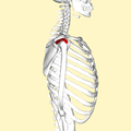 Supraspinatus muscle lateral2.png