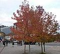 Sutton High Street trees (7).jpg