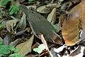 Swainson's Warbler Hooks Wood High Island TX 2018-04-11 09-59-08 (41767302962).jpg