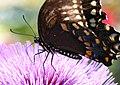 Swallowtail (2757671272).jpg