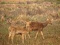 Swamp Deer IMG 4768 01.jpg