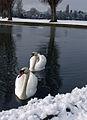 Swan Lake or Snow White^ - geograph.org.uk - 734395.jpg