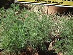 Sweet worm wood (Artemisia annua) from lalbagh 2280.JPG