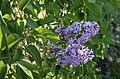 Syren (Syringa vulgaris) 001.jpg