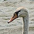 Tête de cygne sur les étangs de Brimeux en vallée de Canche Marais de Marenla 3 aout 2017a 07.jpg