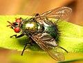 Tachinidae Gymnocheta.jpg