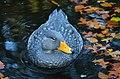 Tachyeres pteneres (Fuegian Steamer Duck - Magellan-Dampfschiffente) - Weltvogelpark Walsrode 2012-12.jpg