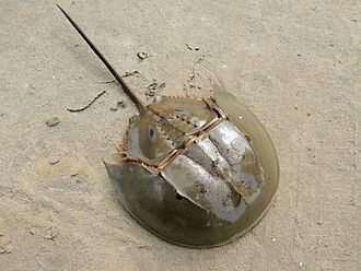Bay of Bengal - Tachypleus gigas in  Odisha