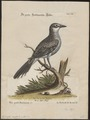 Taenioptera nengeta - 1700-1880 - Print - Iconographia Zoologica - Special Collections University of Amsterdam - UBA01 IZ16500213.tif
