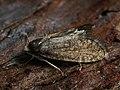 Taleporia tubulosa ♂ - Large birch bright (male) (42987595721).jpg