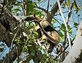 Tamandur Anteater. Tamandua mexicana - Flickr - gailhampshire.jpg