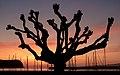 Tamarix africana, Faial Island, Azores, Portugal (PPL1-Corrected) julesvernex2.jpg