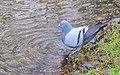 Tamduva Domestic Pigeon (13042430275).jpg