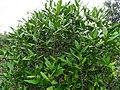 Tarenna asiatica - Asiatic Tarenna 06.jpg